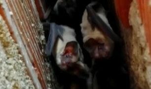 Murciélagos: una pesadilla que atemoriza a vecinos de Ica