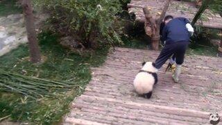 Conoce al oso panda demasiado cariñoso que exige caricias a su cuidador