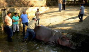 Pandilleros ingresan a zoológico y matan a palazos a hipopótamo
