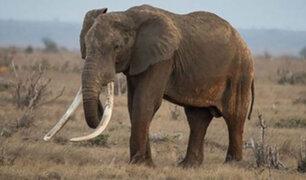 FOTOS: matan a elefante más longevo de África para robarle sus colmillos