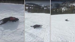 Mira cómo este adorable perro rescatista ama deslizarse montaña abajo