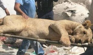 México: capturan a león que desató pánico en Zapopan