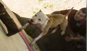 México: perro pitbull sorprende trepando árboles y muros