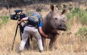 Insólito: rinoceronte 'pide' a un camarógrafo que le rasque la panza