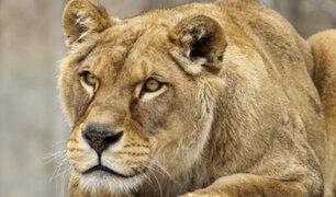 Leona asecha a turistas y desata pánico en zoológico de México