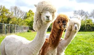 Alpacas causan sensación por su extravagante corte de pelo