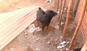 Chorrillos: vecinos temen nuevos ataques de rottweilers