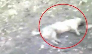 Collique: denuncian envenenamiento de perros y gatos en hospital Sergio Bernales