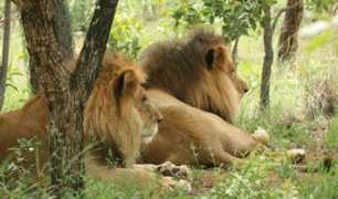 Sudáfrica: decapitan a dos leones que habían sido rescatados en Perú