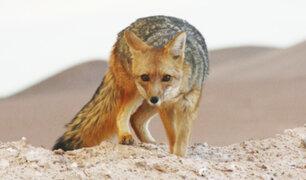 La Molina: vecinos denuncian que zorro que habita en la zona es amenazado