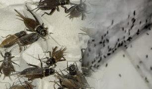"""Trujillo: grillos invaden a damnificados por fenómeno de """"El Niño Costero"""""""