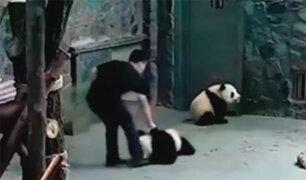 China: cachorros de oso panda son maltratados por sus cuidadores