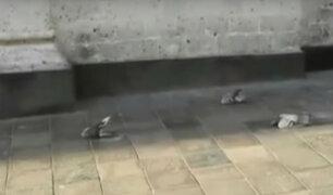 Aparecen palomas muertas en Plaza de Armas de Arequipa