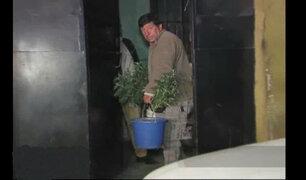 SJL: Policía requisó 40 plantones de marihuana