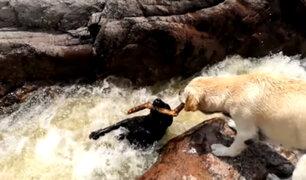 [VIDEO] ¡Impresionante! Un perro salva a su compañero de ahogarse