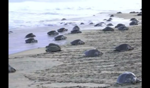 [VIDEO] Miles de tortugas en peligro de extinción llegan a playa protegida