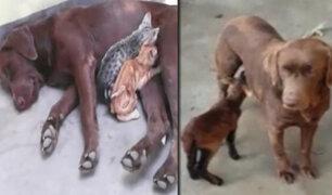 Trujillo: perrita amamanta a dos gatos abandonados y una oveja