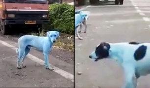 India: perros callejeros se vuelven azules tras nadar en río contaminado