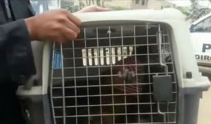 Rescatan a mono aullador rojo de vivienda en Comas