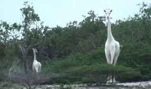 Kenia: avistan dos jirafas blancas en una reserva natural