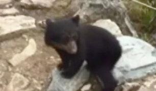 Cusco: oso andino bebé aparece en santuario de Machu Picchu