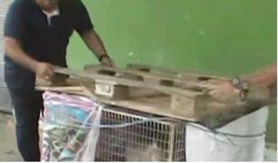 Cusco: puma hallado en bodega de bus interprovincial fue devuelto a su hábitat