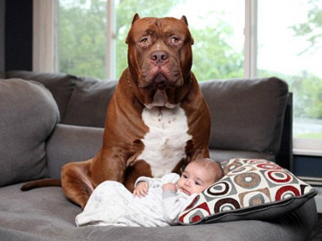 Hulk: el inmenso pitbull  que cuida de un recién nacido