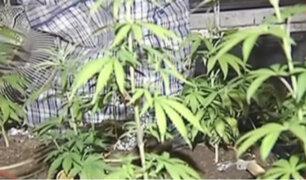 Cedro: uso de aceite de marihuana debe ser regulado para fines medicinales