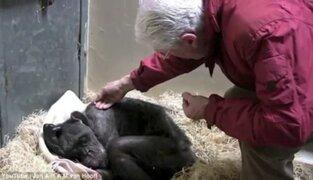 Holanda: el conmovedor adiós de una chimpancé y su cuidador
