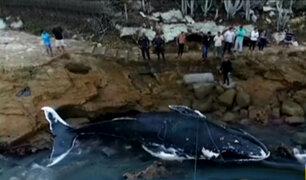 Brasil: ballena que había sido rescatada apareció muerta en playa