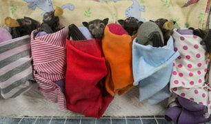 Australia: crean asilo para murciélagos huérfanos