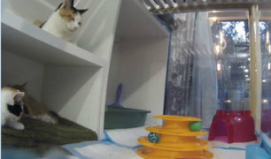 EE.UU: ratas cuidan a gatos huérfanos