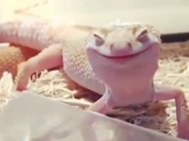 Conozca a la lagartija que no deja de sonreír jamás