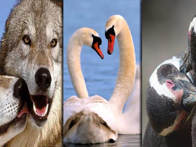 Conozca a los animales más fieles a sus parejas