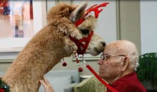 ¿Terapia de alpacas? Estos animales son utilizados para tratar enfermedades