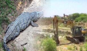 Tumbes: obreros encuentran cocodrilo en una quebrada
