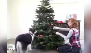 Sorprendente: perro ayuda a su dueña a decorar el árbol de Navidad