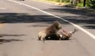 Facebook: La pelea de koalas que paralizó el tráfico en Australia y arrasó como viral [VIDEO]
