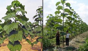 """El """"Kiri"""" es el árbol más rentable del mundo"""
