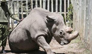 Muere en Kenia el último macho de rinoceronte blanco