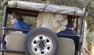 ¡Qué susto! León blanco saltó a un jeep de turistas