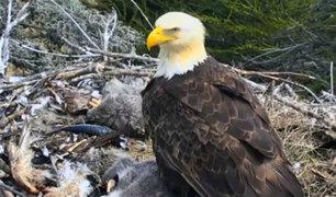 YouTube: ¿Por qué esta mamá águila abandonó a sus polluelos durante sismo? [VIDEO]
