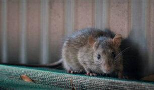 Argentina: policía culpa a las ratas tras desaparición de 540 kilos de marihuana