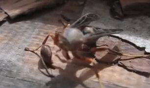 Graban a una avispa decapitada que recoge su cabeza y emprende vuelo