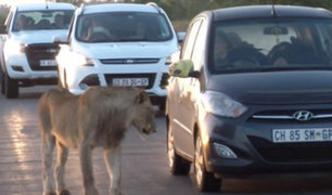 Sudáfrica: una leona trata de abrir puerta de auto de turistas