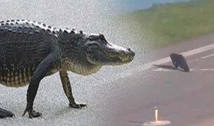 EEUU: captan a enorme caimán cruzando pista de aeropuerto de Orlando