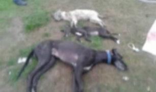 Cajamarca: denuncian envenenamiento masivo de perros