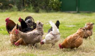 Gobierno de Guatemala entregará 10 gallinas a familias afectadas por erupción de volcán