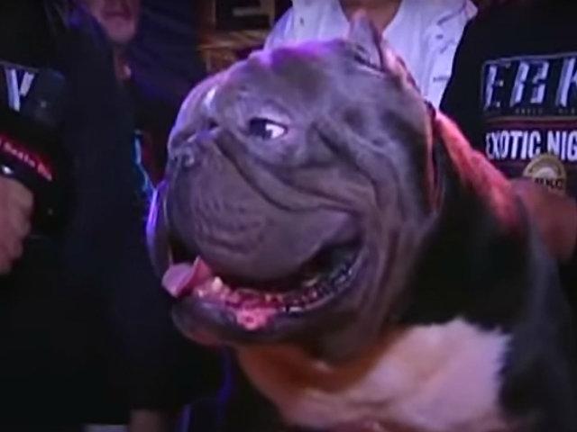 Exotic Bully, el dócil perro musculoso