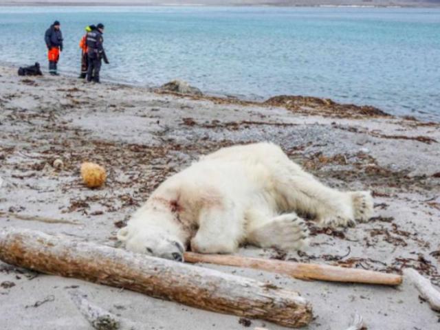 Noruega: trabajador de crucero mata a oso polar por atacar a guía turístico